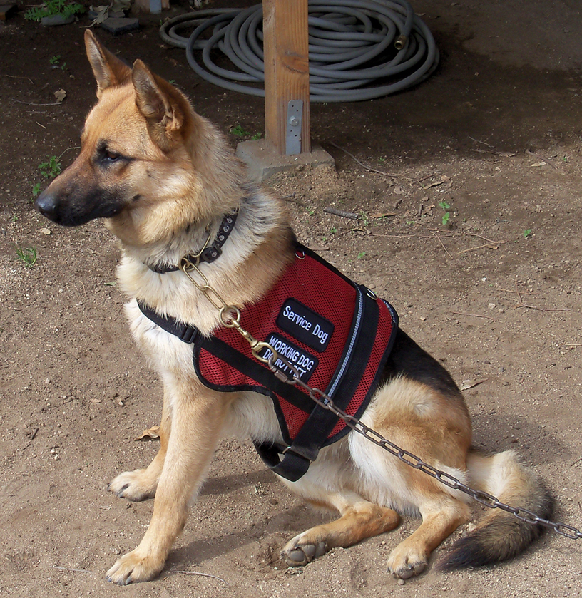 Twhen To Get Another The Service Dog